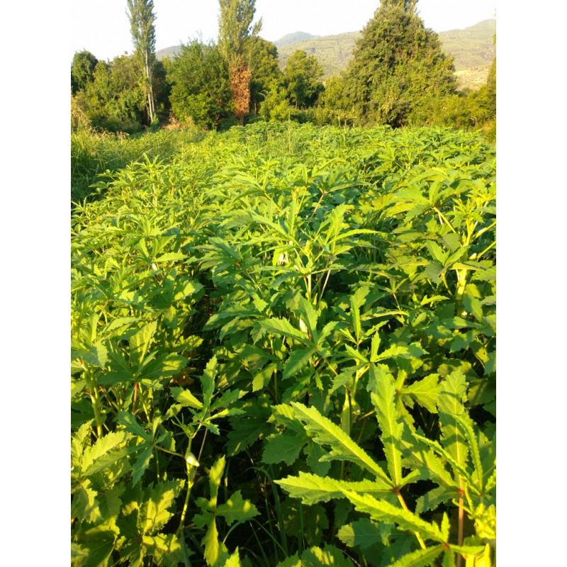 Organik Bamya 1 Kg