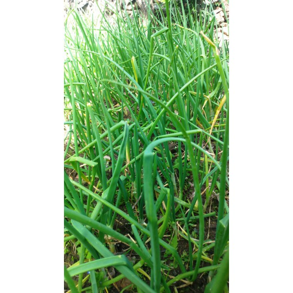 Organik Yeşil Taze Soğan 1 Demet