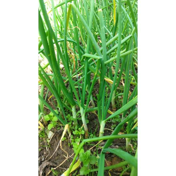 Doğal Yeşil Taze Sarımsak 1 Bağ