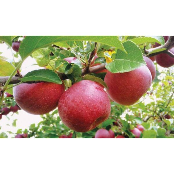 Organik Kırmızı Elma 1 Kg